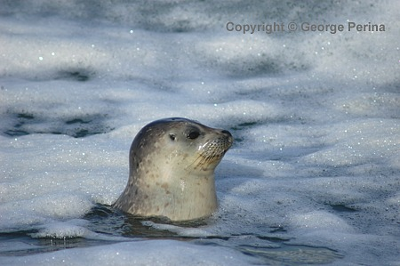 Peering Harbor Seal