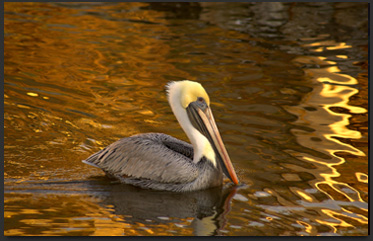 View this golden pelican on my website